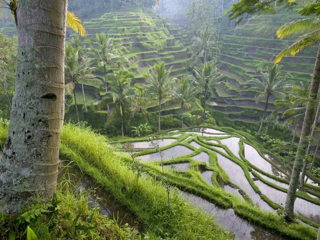 Ubud Ricefields