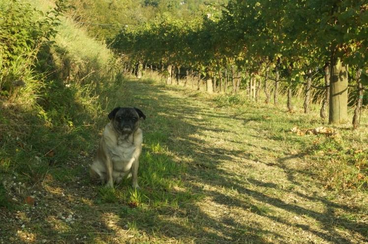 A vineyard outside of Verona