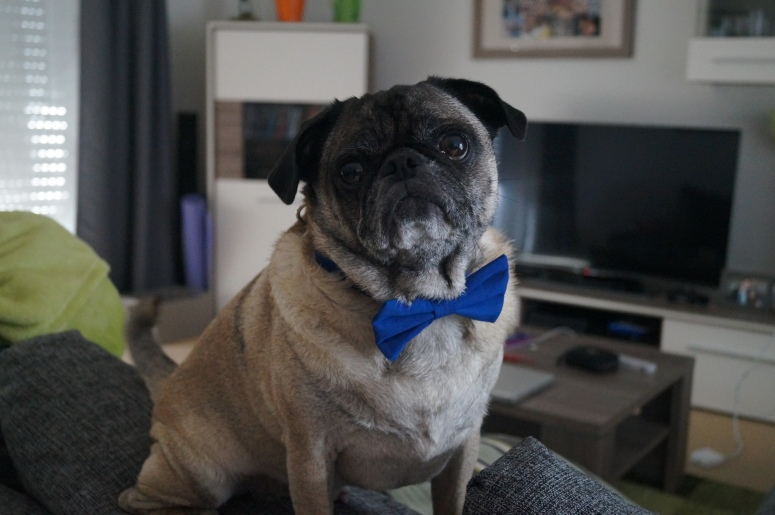 A definite do: pug with a bow tie!