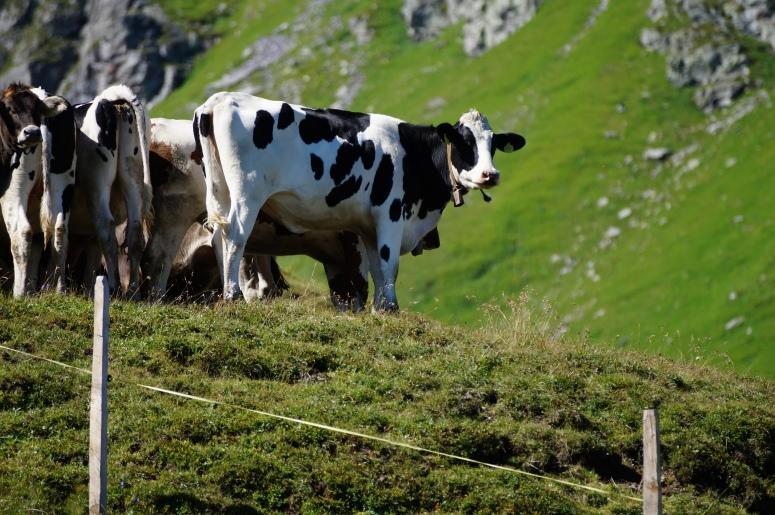 Mountain Cow!