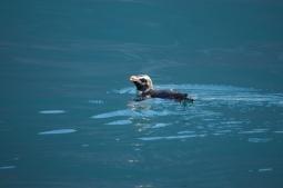 Fjordland Crested Penguin